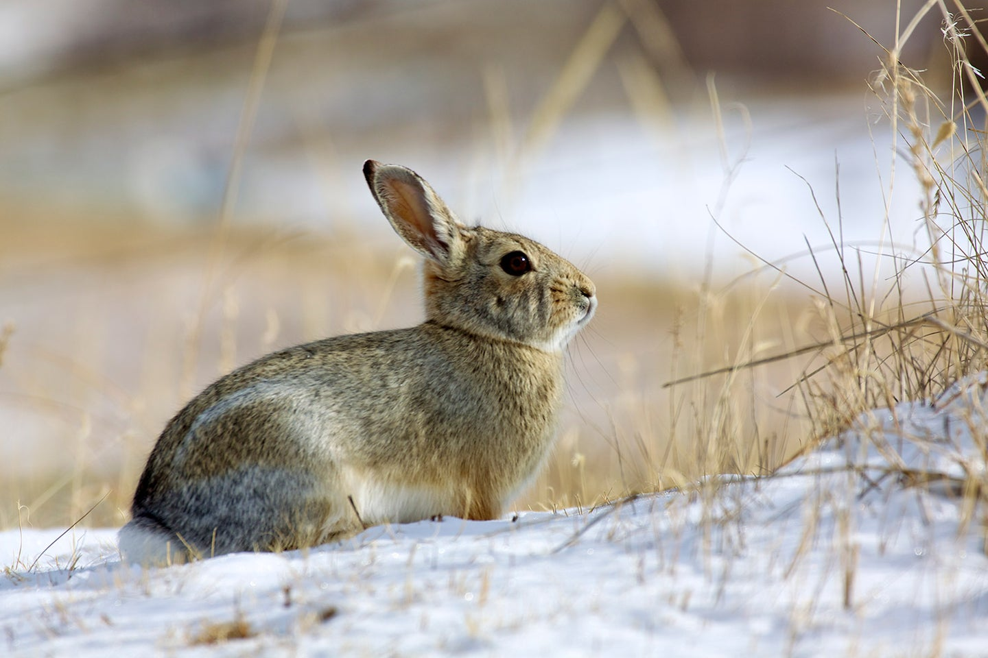 A cottontail rabbit ventures along a field edge after a dusting of snow.