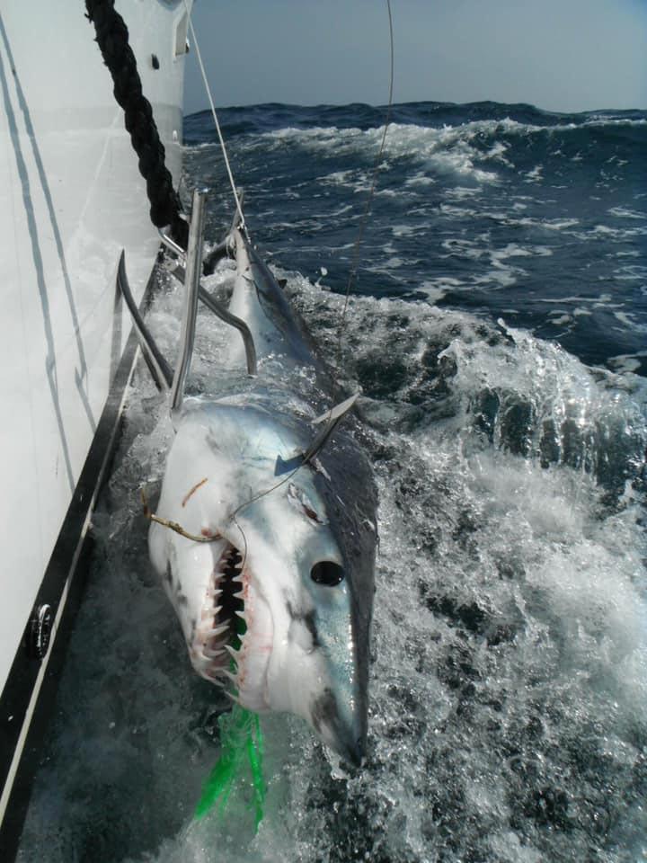 A New Jersey Mako shark.