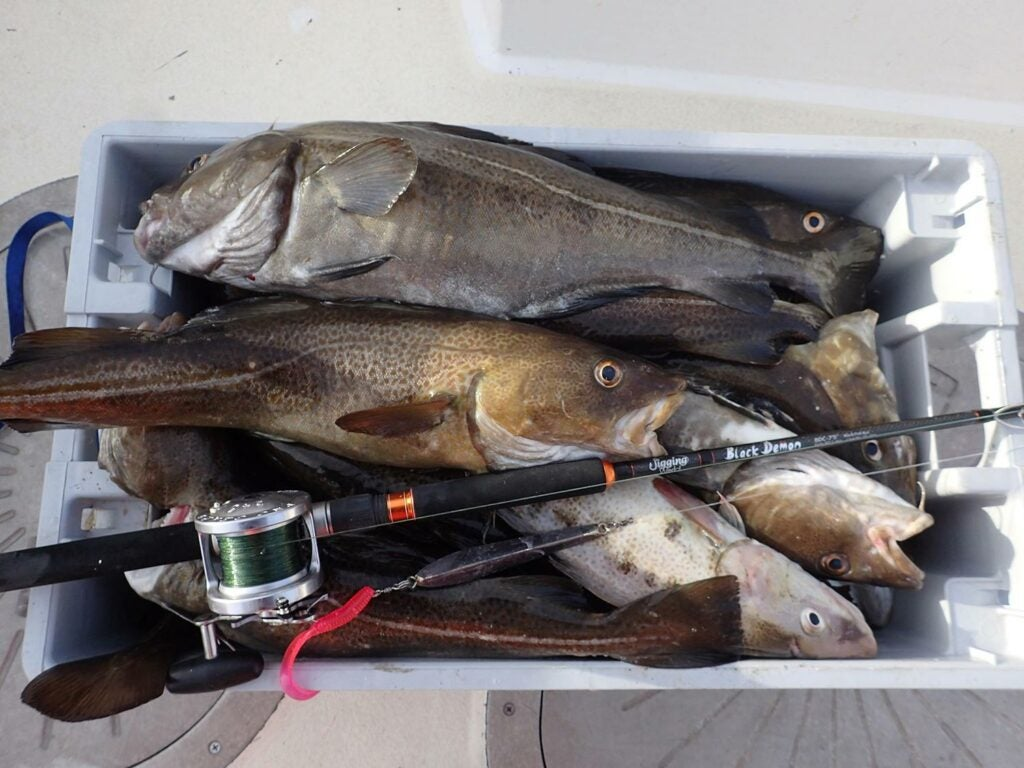 A cooler full of Atlantic cod.
