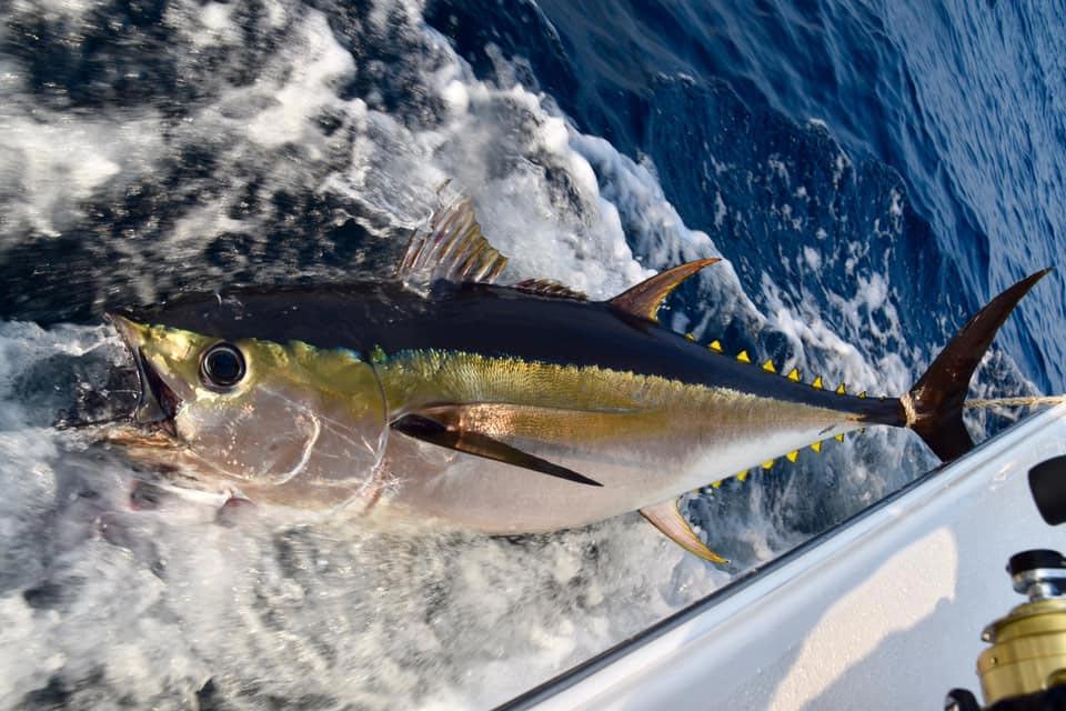 A giant bigeye tuna on the boat side.