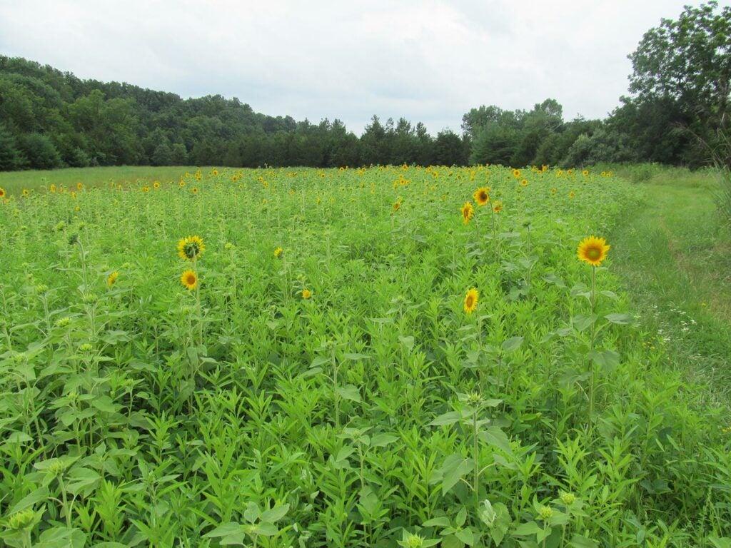 A sunflower food plot.