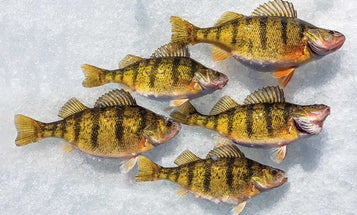 Getting Wild on the Ice for Yellow Perch