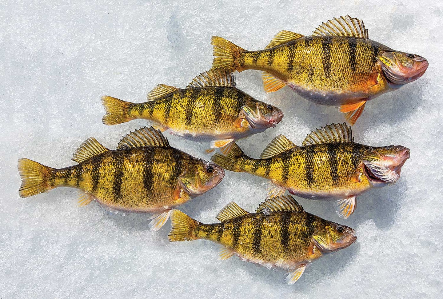 A group of yellow perch on the ice.