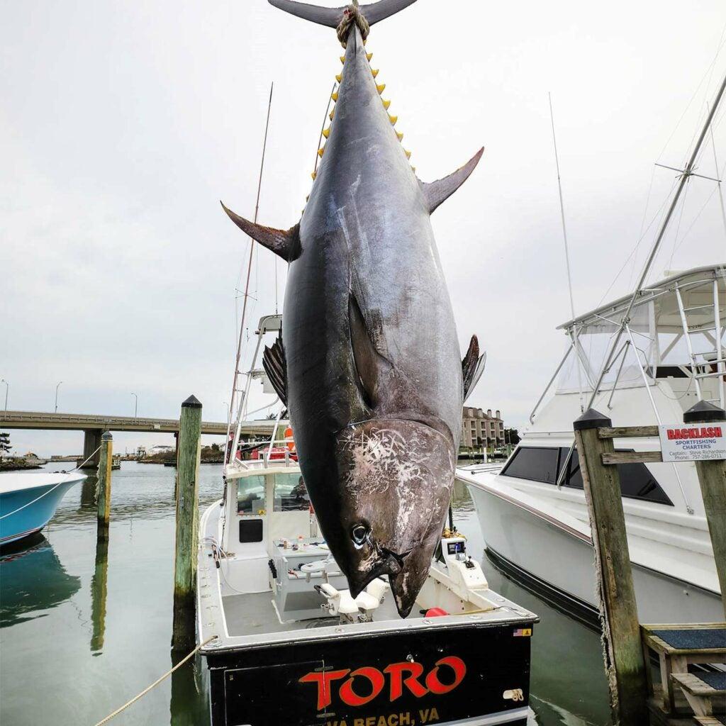 A large bluefin tuna.