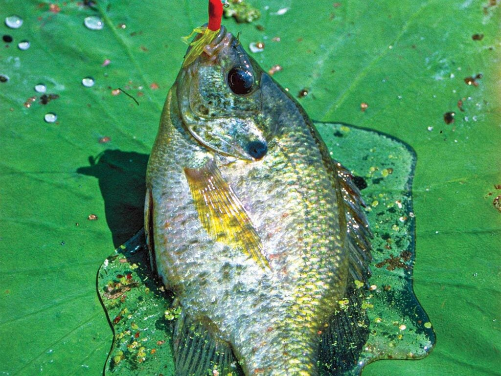 a sunfish on a lily pad.