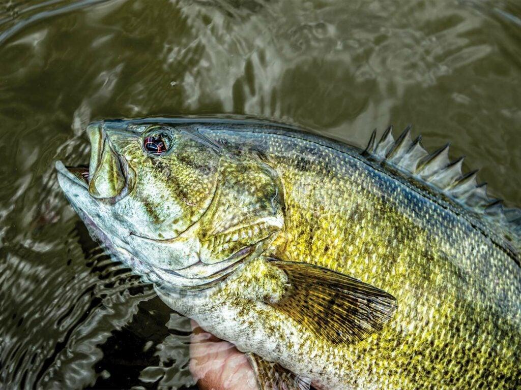 Bass caught in oregon stream.