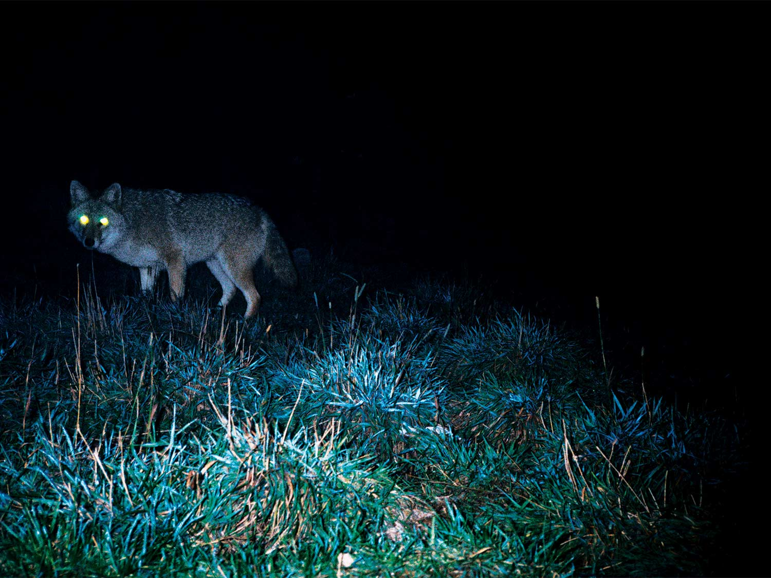 A large male coyote lopes in close and stares into the light.