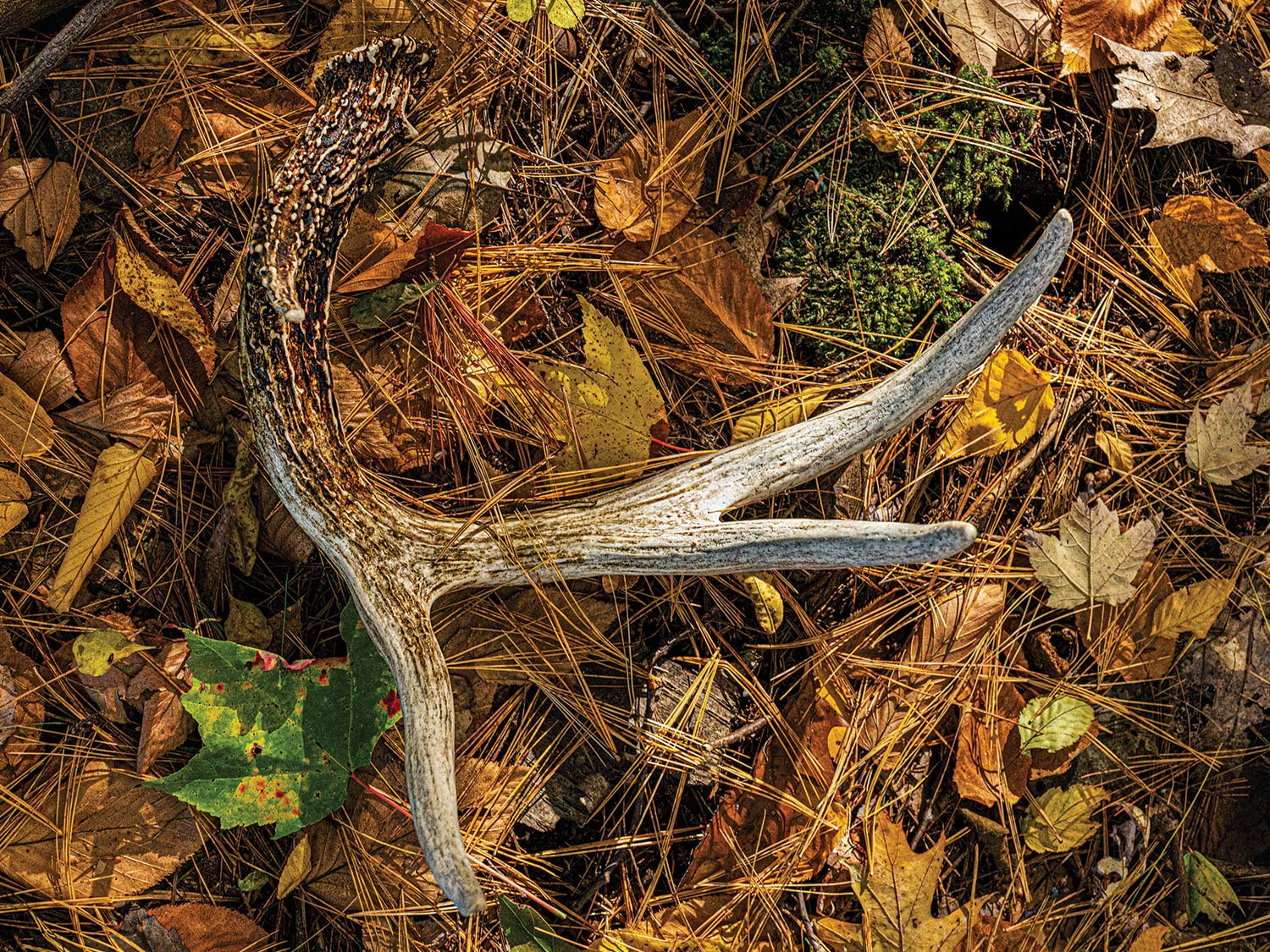 A shed deer antler lying in leaves and pines.