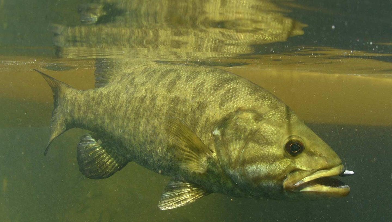 Smallmouth bass underwater.