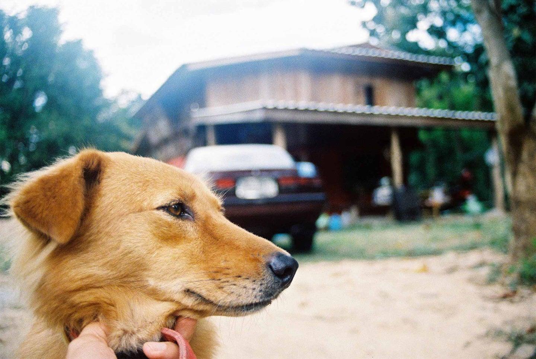 Cute golden doggie
