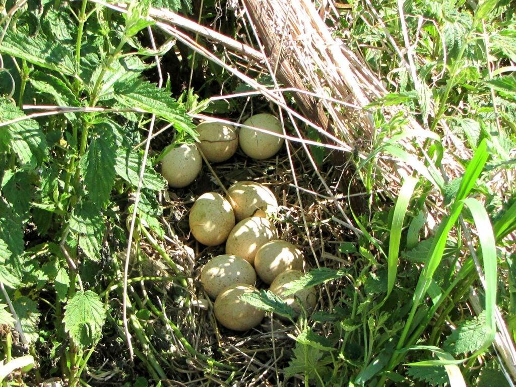 A nest of turkey eggs.