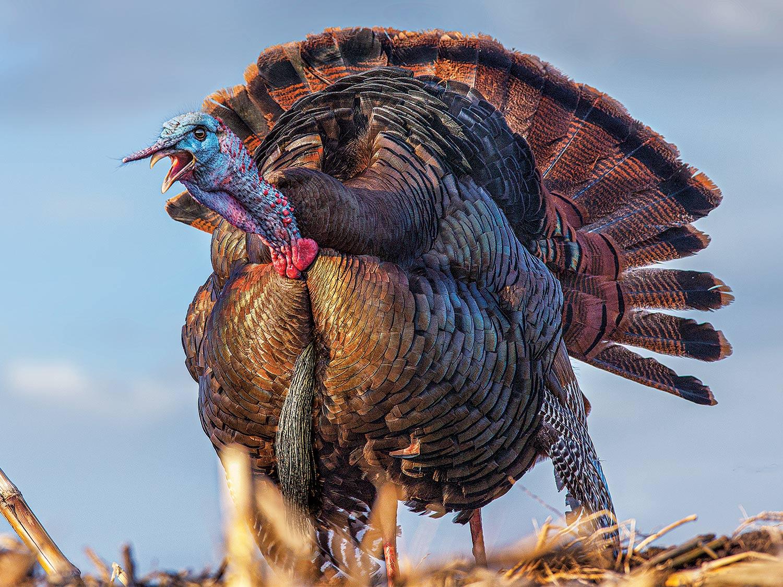 Eastern tom turkey.