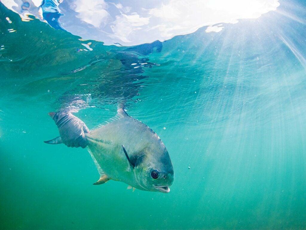 A small permit fish underwater.