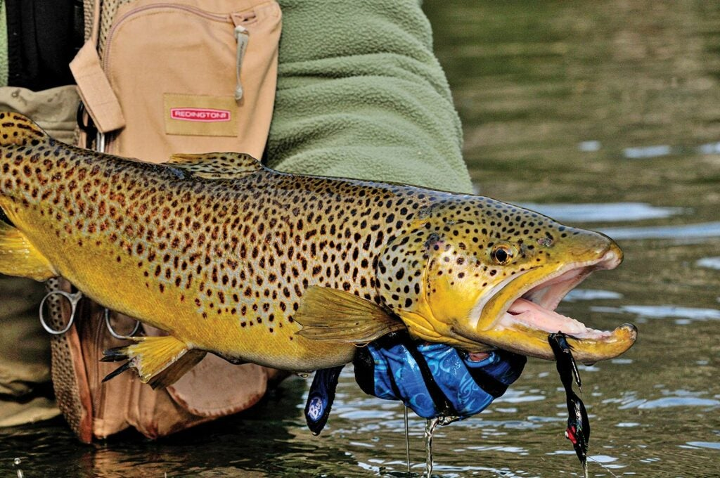 A large brown trout.