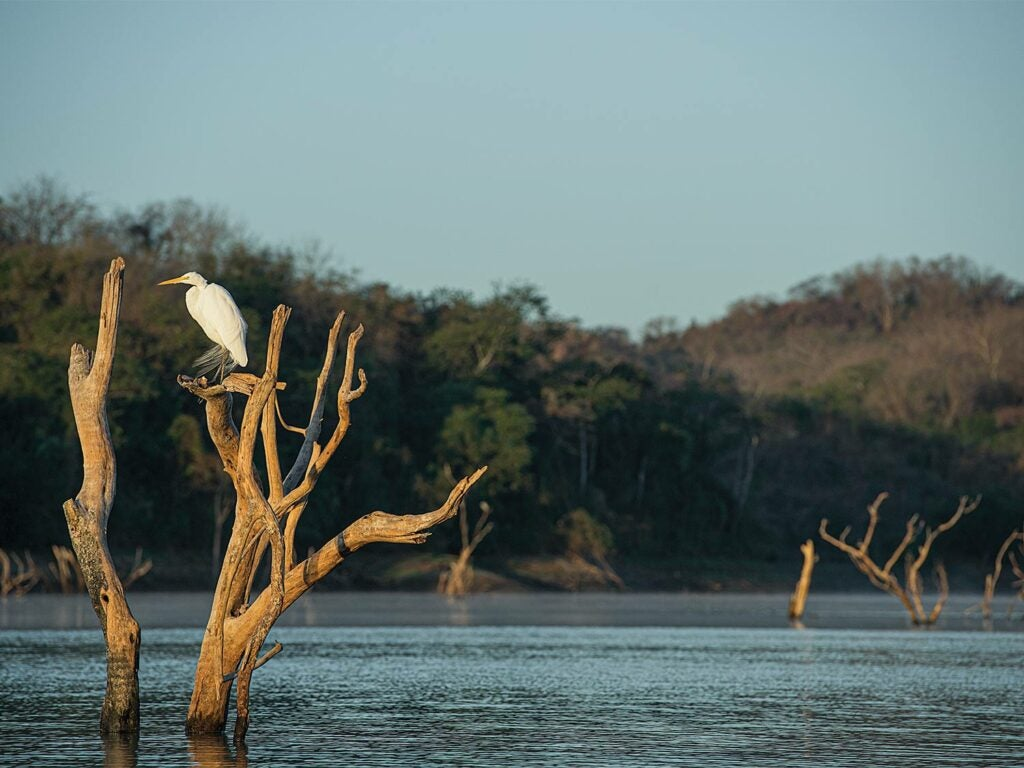 A white crane in a tree overlooking water.