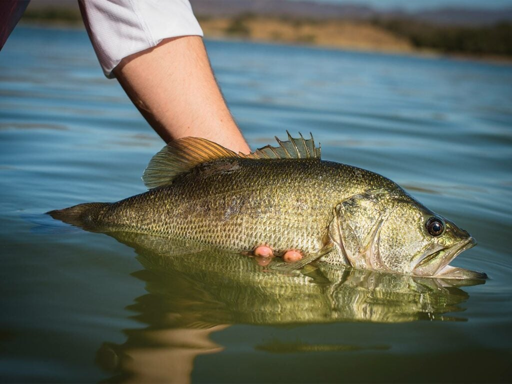 An arm holding a largemouth bass out of the water.