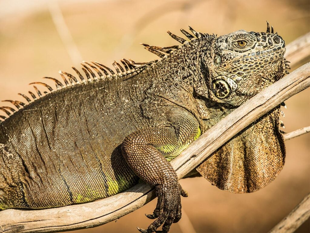 An iguana laying on a tree branch.