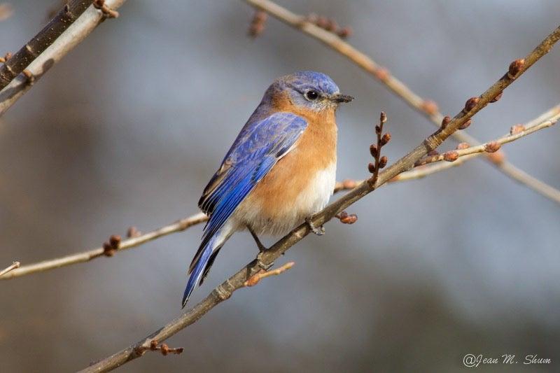 an Eastern bluebird on a branch