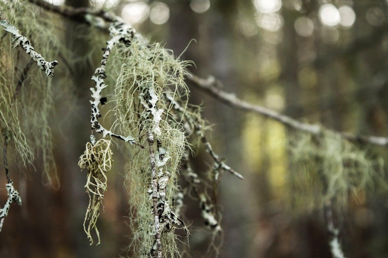 Spanish moss or old man's beard.