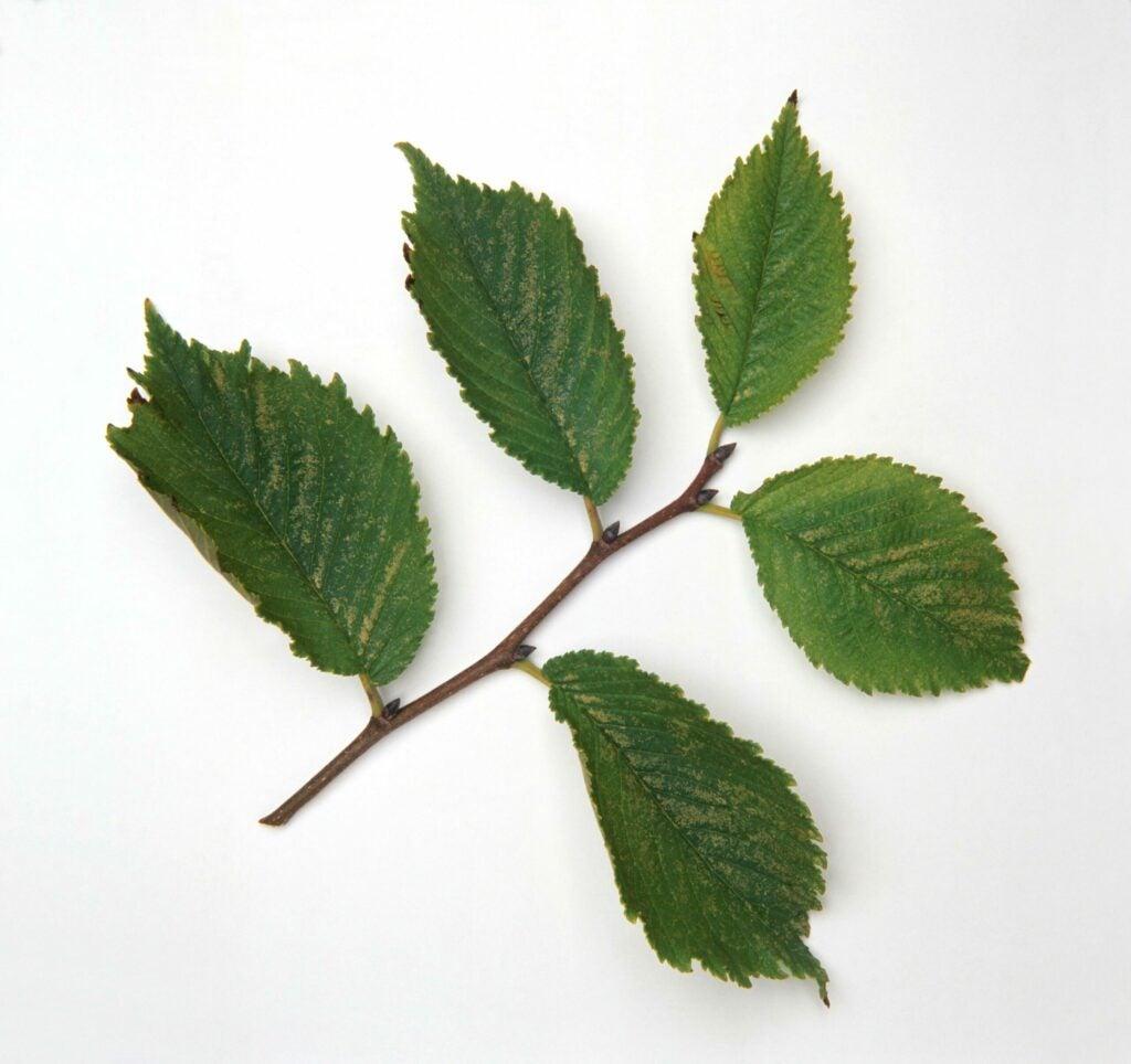 Ulmus rubra (Slippery Elm), green leaves on stem