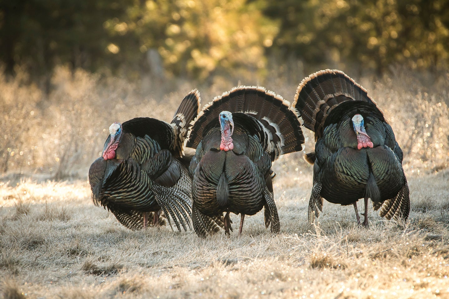 Grouped-up gobblers display in an early-spring meadow.