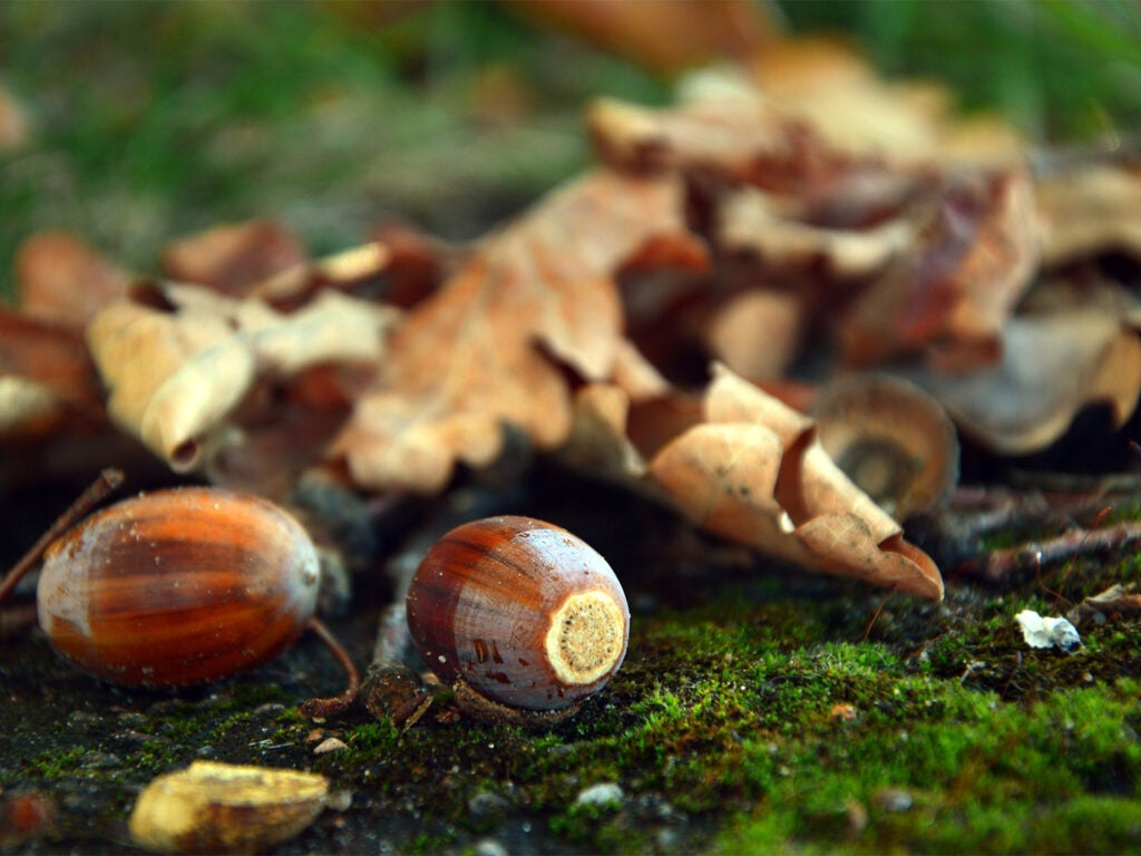 A pile of acorns among leaves on a mossy ground.