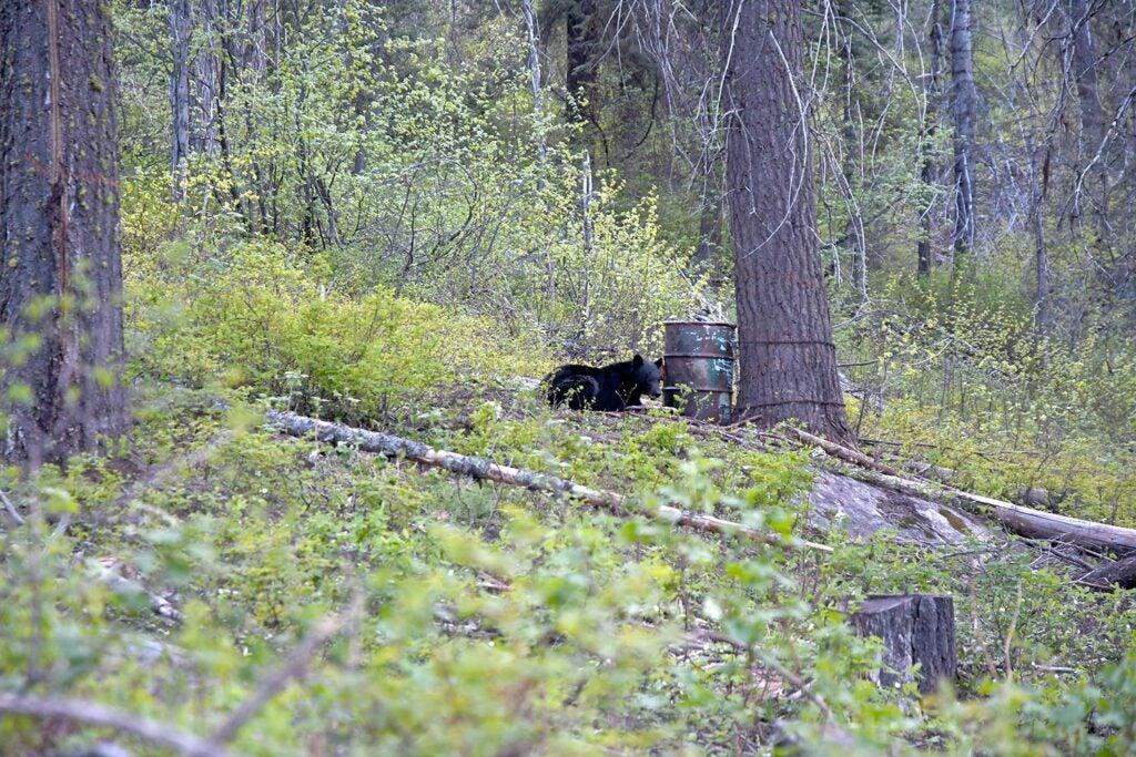 A black bear at a bait barrel.