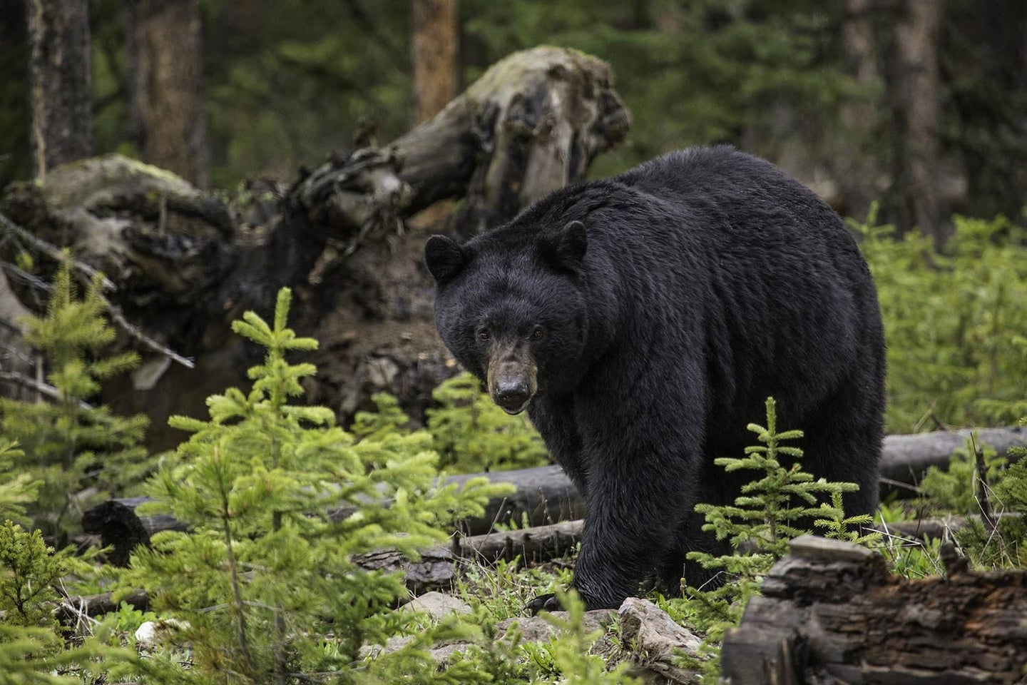 A black bear wandering in the woods.