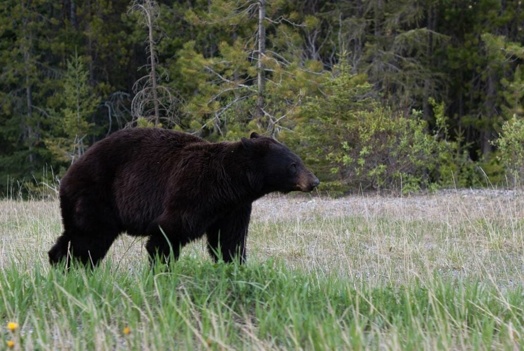 A large black bear wandering through an open field.