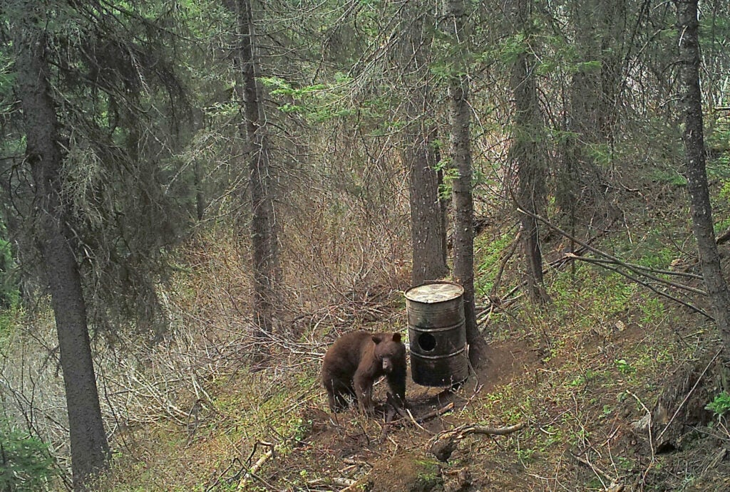 bear next to barrel in forrest.