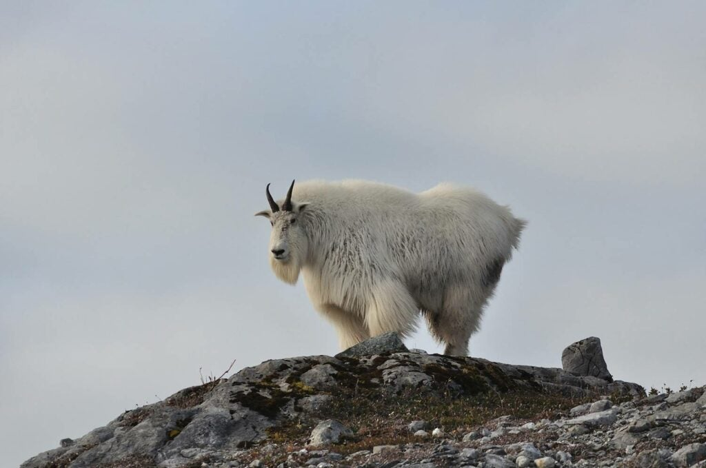 A mountain goat on a hillside.