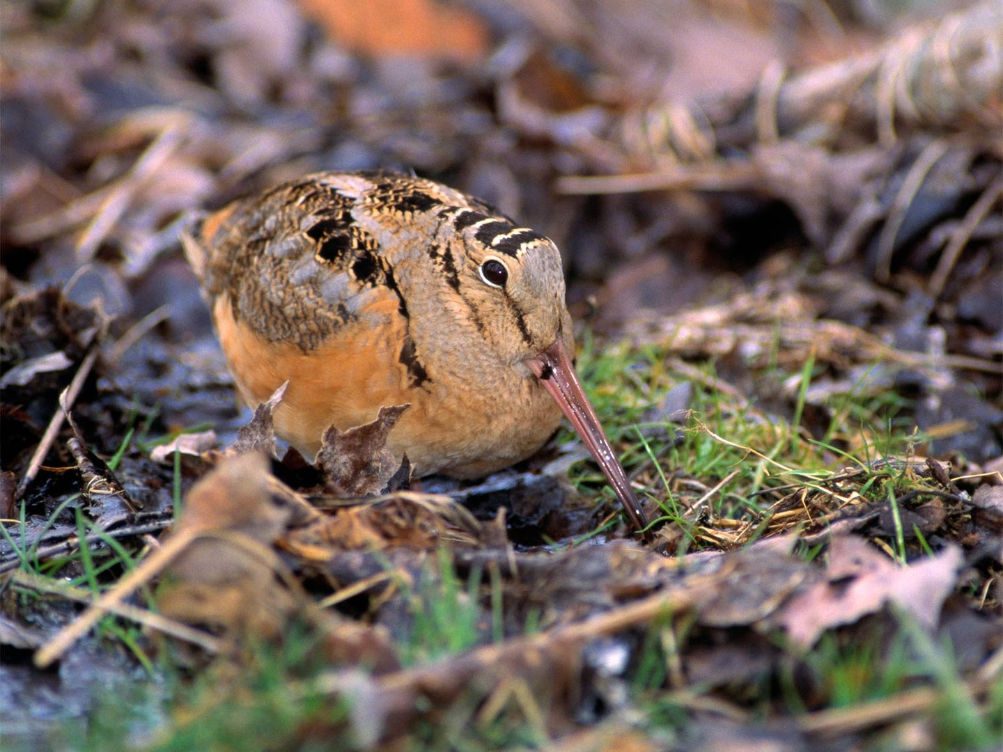 American woodcock in the leaves.