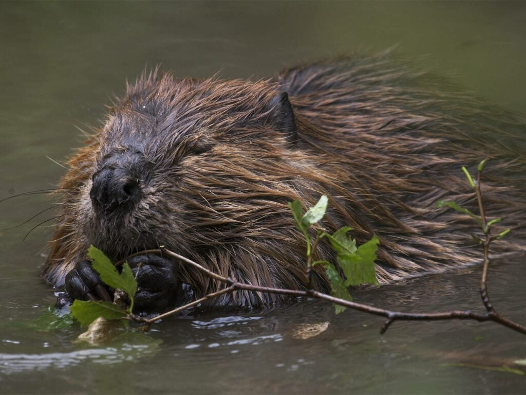 A beaver gnawing on tree branches.