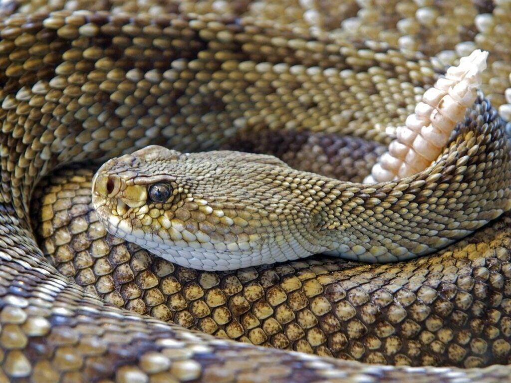A coiled up rattlesnake