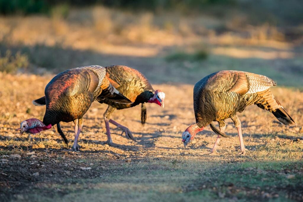 Turkeys eating off the ground.