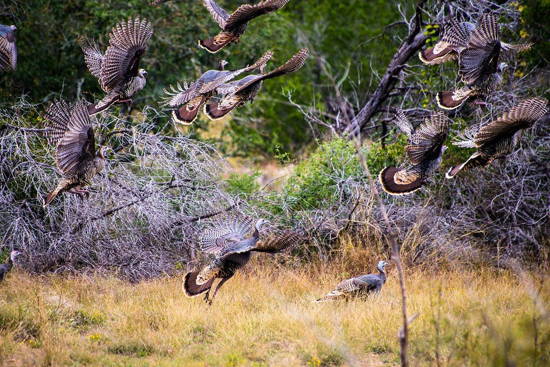 Turkeys flying away from a field.