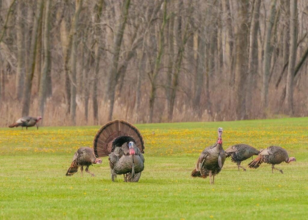 A strutting turkey in a field.