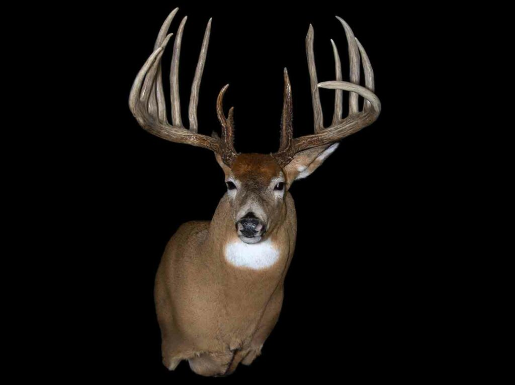 A trophy deer mount on a black background.