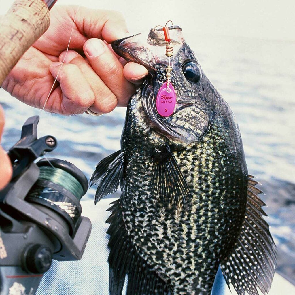 A crappie caught on a spinner.