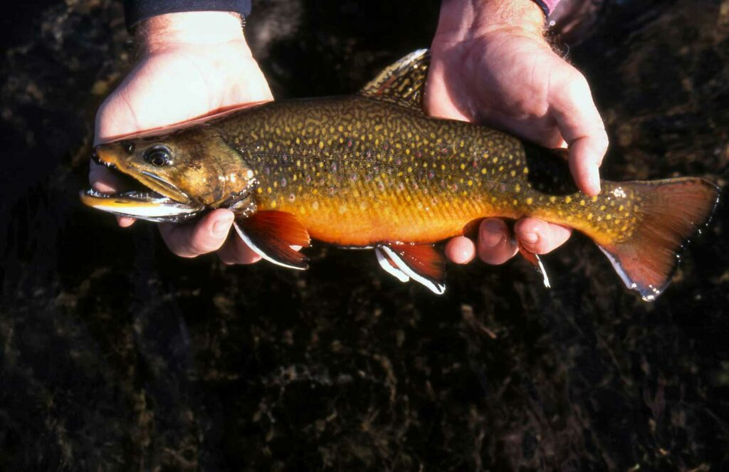 A brook trout eastern United States.