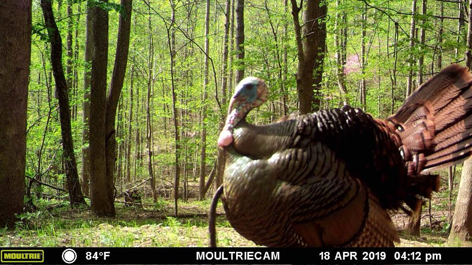 Turkey on trail camera.