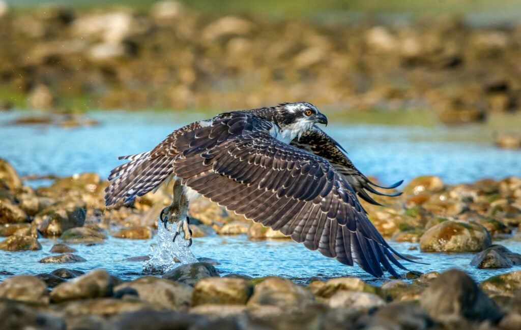 osprey-hunting-for-fish