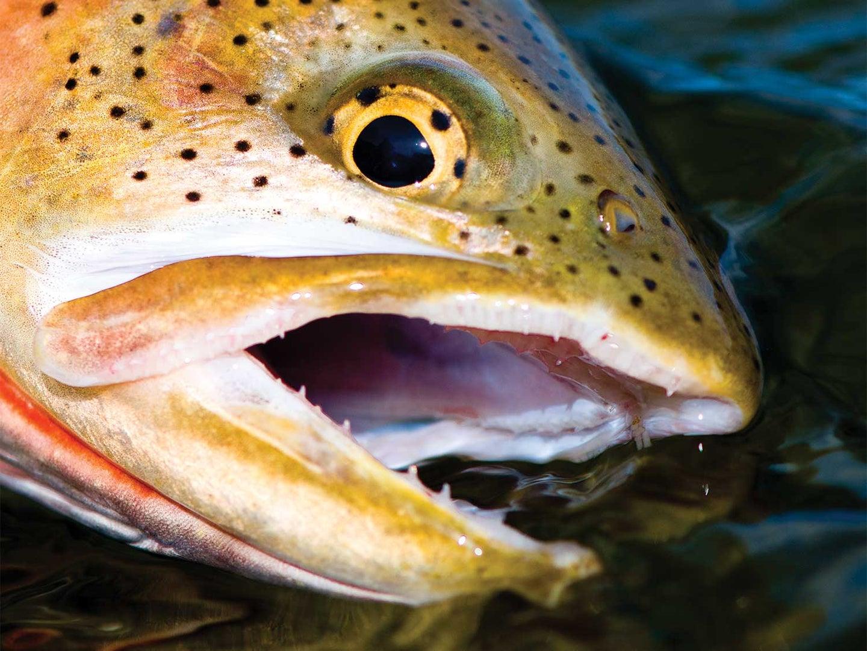 Closeup detail of a cutthroat-trout-head.