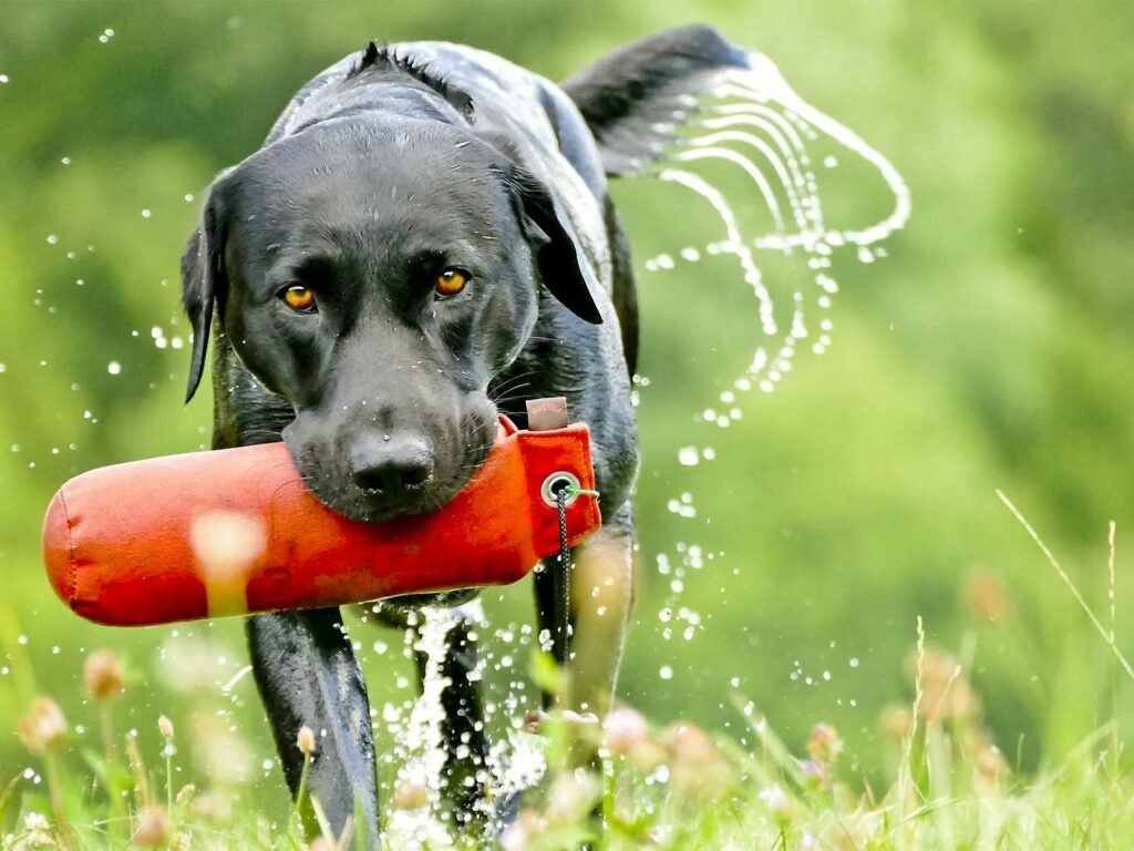 An example of a Labrador retriever hunting dog breed carrying a buoy in its mouth.