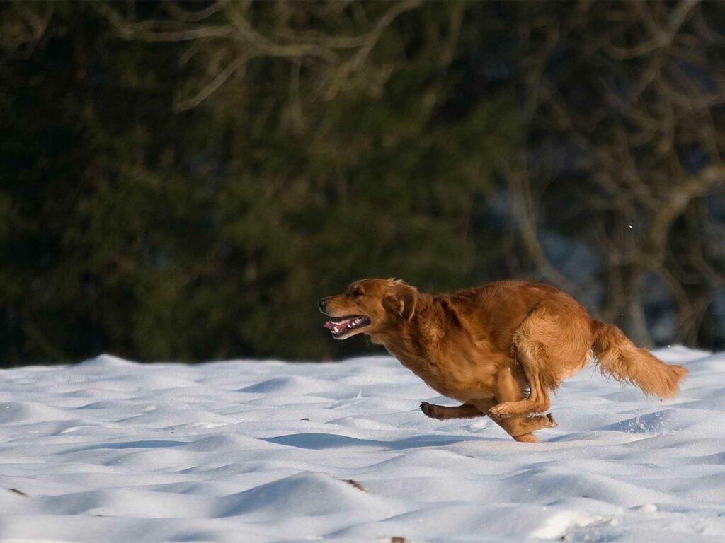 A golden retriever running through the snow.