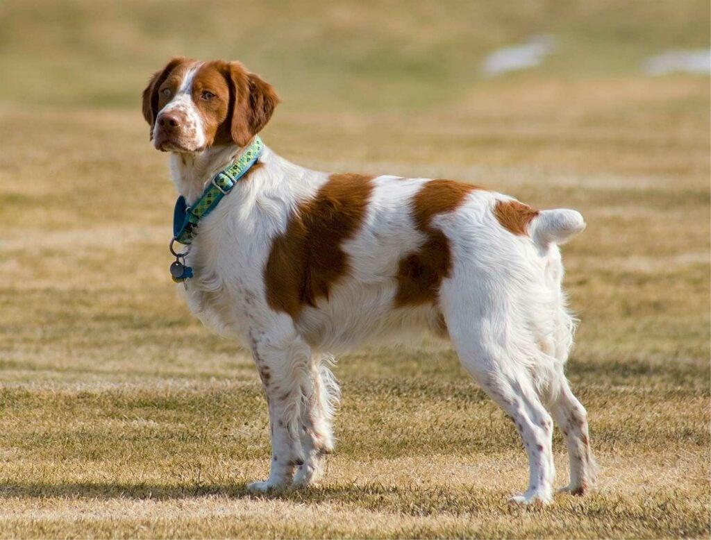A Brittany spaniel bird dog stands alert in a field.