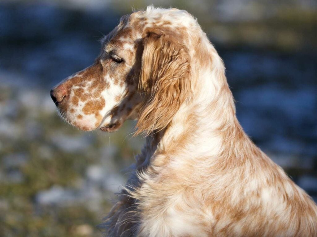 A side-profile view of a gold and white english setter hunting dog breed.