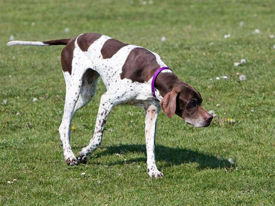An English pointer hunting dog.