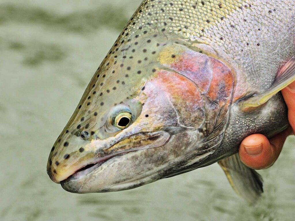 Closeup detail of a steelhead trout.