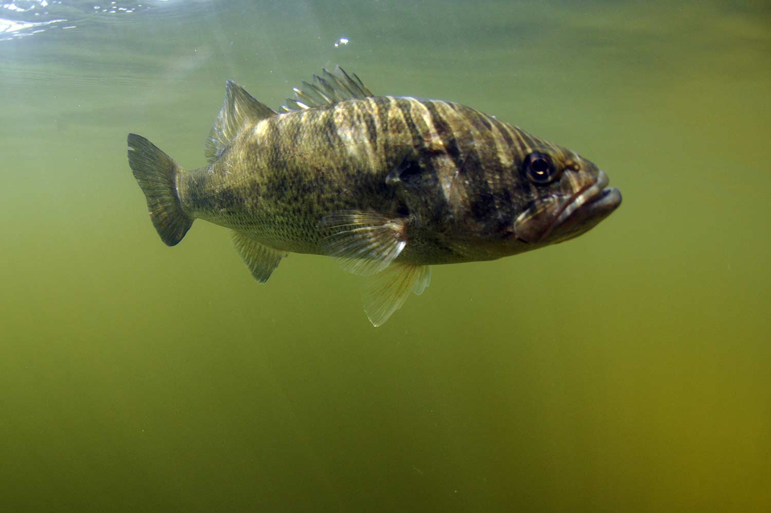 A largemouth bass swimming underwater.